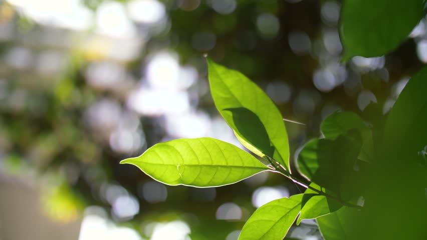 Leaf backlit by the glare of warm sunlight | Shutterstock HD Video #1007676649
