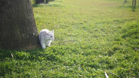 Beautiful white cat stalks through the green grass. The cat peeks out from behind a tree.