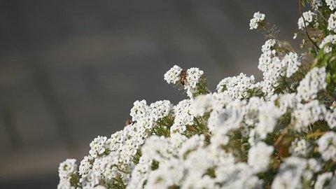 Macro of Fly with big eyes on white flower isolated on black background. Nature and wild life background. big insect on Lobularia maritima flower