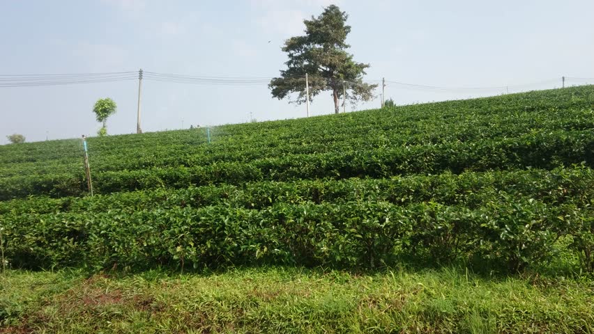 Green Tea Plantation field with Springer Water