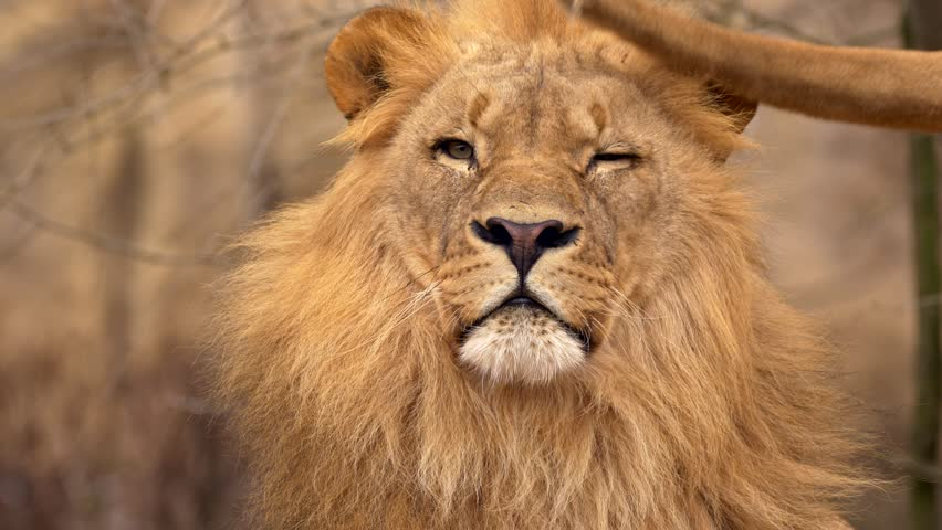 Southwest African lion contact #1007741989