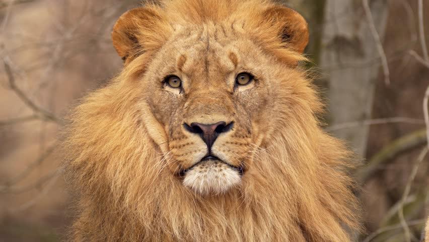 Southwest African lion gaze #1007742019