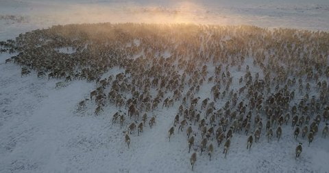 reindeer herd moving in a tundra