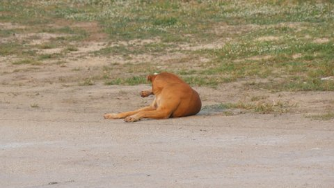 Homeless red dog in the summer on the street