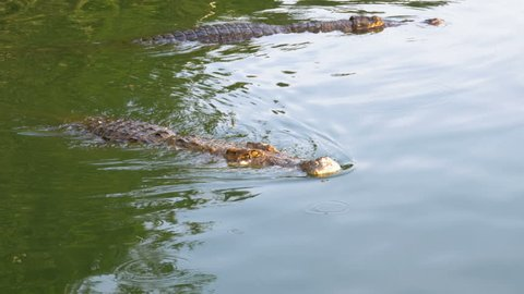 The crocodile swims in the green marshy water. Muddy Swampy River. Pattaya Crocodile Farm. Thailand. Asia.