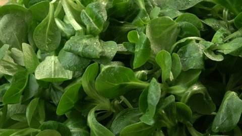 Fresh lettuce salad. Green lettuce leaves (Valerianella locusta)