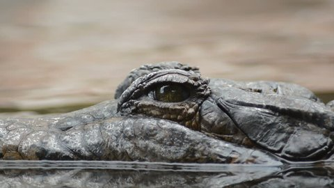 Eye of crocodile or tomistoma floating in the river