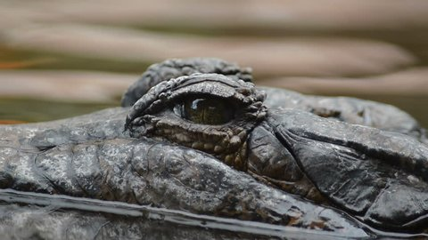 Eye of crocodile, false gharial or tomistoma, floating in the river and looking to camera - Tomistoma schlegelii