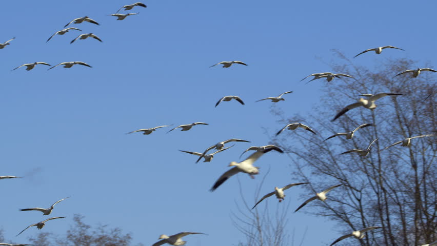Snow Geese Flock | Shutterstock HD Video #1007901319
