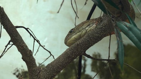 This is a shot of a king Cobra in a Tree. Shot with a GH5