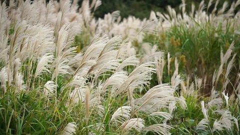 Susuki (Japanese Pampas Grass, Miscanthus sinensis) with bokeh background behind, Hitachi Seaside Park, Ibaraki, Japan