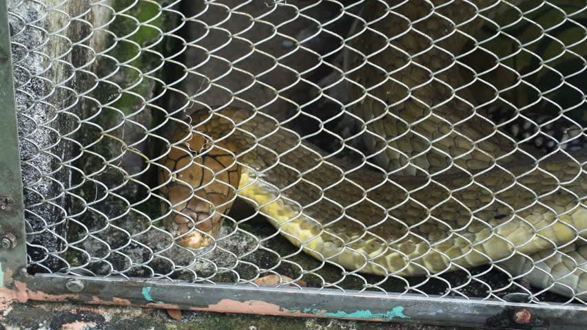 The king cobra in the cage. The king cobra is the world's longest venomous snake.