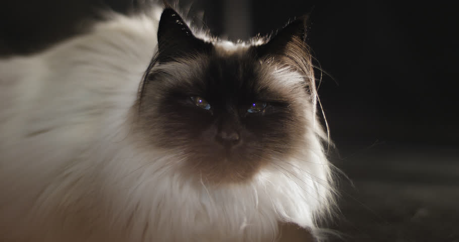 Ragdoll cat with bright blue eyes on on black background