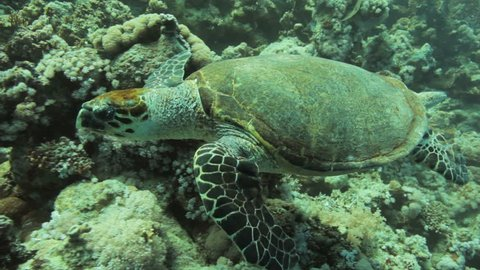 Hawksbill turtle feeding swimming near the reef in the red sea