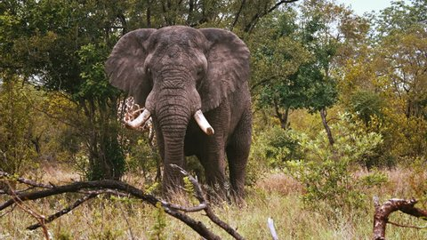Large African Elephant bull in musth (mating season) approaches camera with giraffe in background. Shot RAW and graded.
