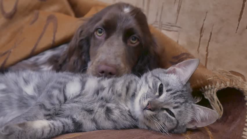 Cat and a dog are sleeping together indoors friendship funny video. cat and dog | Shutterstock HD Video #1008051649