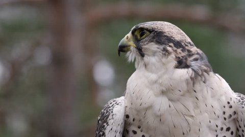 hawk sits on a branch in a forest and looks around