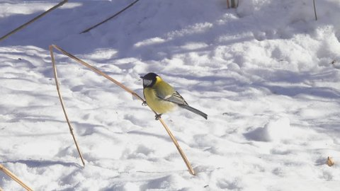 The bird Great Tit  (Parus major) come flying and sits down on a dry blade of grass, which sticks out from a snowdrift