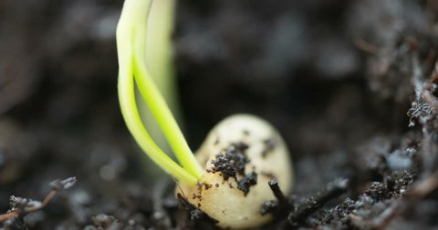 epic shot on magic nature germination process small plant leaving his seed on the ground while growing up, extreme close up, growth process germinating, 3x zoom, Agriculture Spring Summer Timelapse