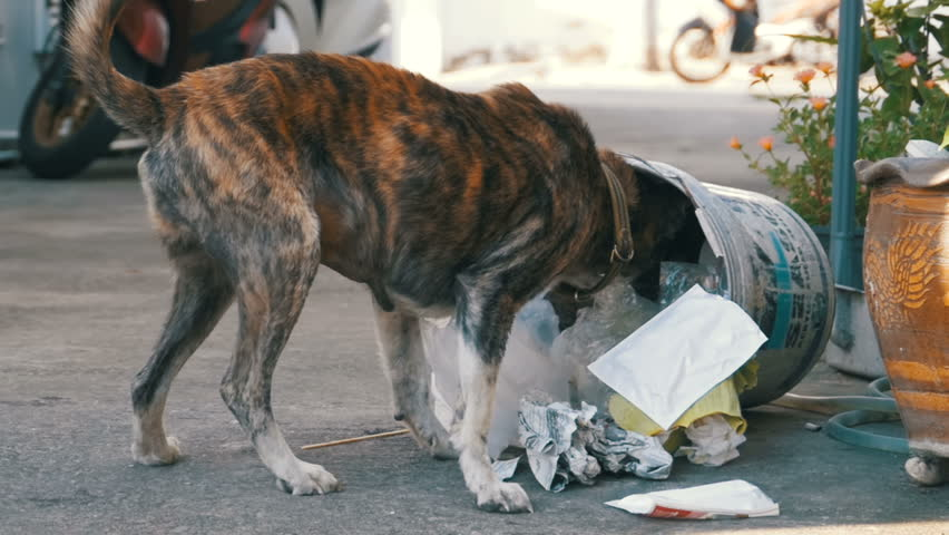 Homeless, Thin and Hungry Dog Rummages in a Garbage can on the Street. Asia, Thailand, Pattaya. A miserable stray dog with a head climbs into a bucket of garbage in search of food. Street dogs search | Shutterstock HD Video #1008158359
