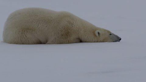Close on polar bear sleeping on see ice as wind rustles fur