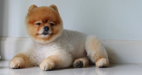 pomeranian dog cute small pet grooming short hair round face style