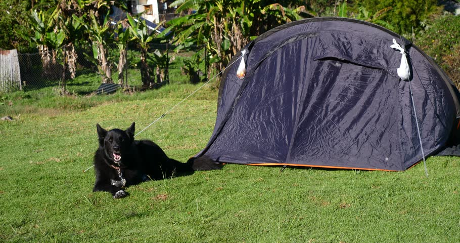 dog beside tent c&ing for security in rural village green grass day adventure holiday trip backpacker & Dog Beside Tent Camping For Security In Rural Village Green Grass ...