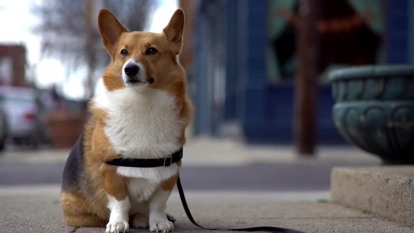 Pembroke Corgi Dog tied with leash on downtown sidewalk patiently waiting for its owner to return.