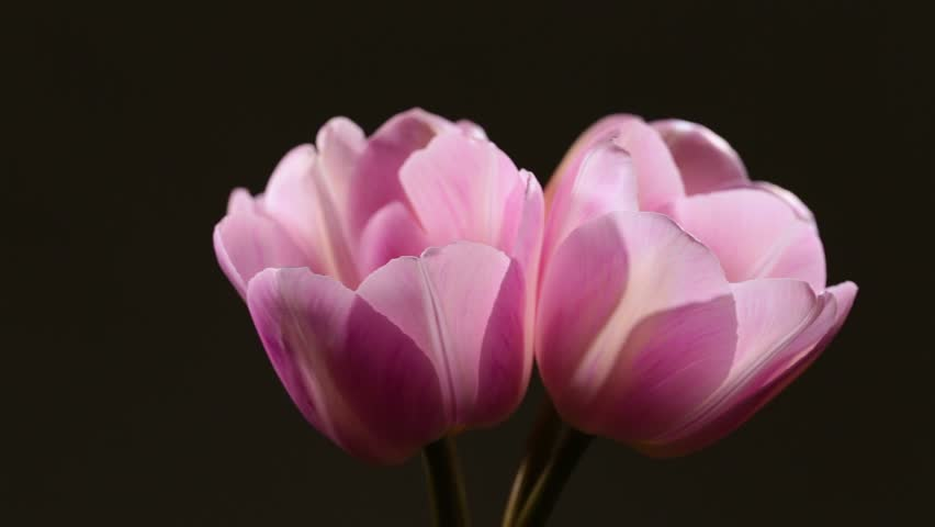 Closeup view of four pink tulips isolated at black background. Flowers rotating. Real time full hd video footage.