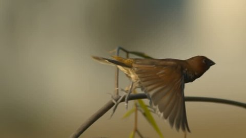 Munia Bird Flies Off Slow Motion 1500fps