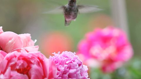 Pink spring peonies with a hovering female hummingbird