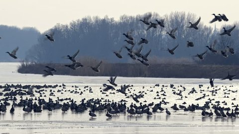 Flock of ducks taking off from frozen lake