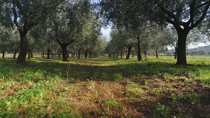 Low angle drone shot flying through olive trees in Istria region, agriculture and farming in Croatia