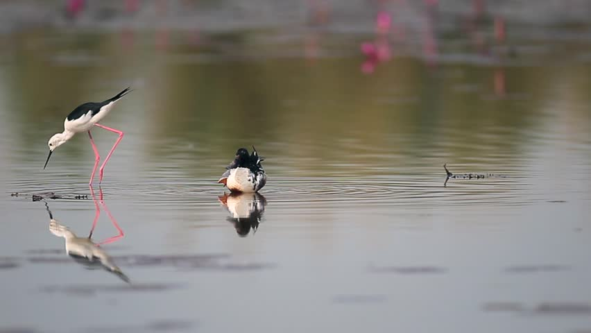 Beautiful Northern shoveler (Anas clypeata), low angle view, floating in the middle of Bueng Boraphet, the largest freshwater swamp and lake, non-hunting area in the central, Thailand. #1008545329