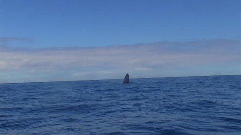 Whale Jump. Humpback Whales (Megaptera novaeangliae) swim in Victoria sea. Blue sea balance. Blue sky. Image in Espirito Santo, Brazil.