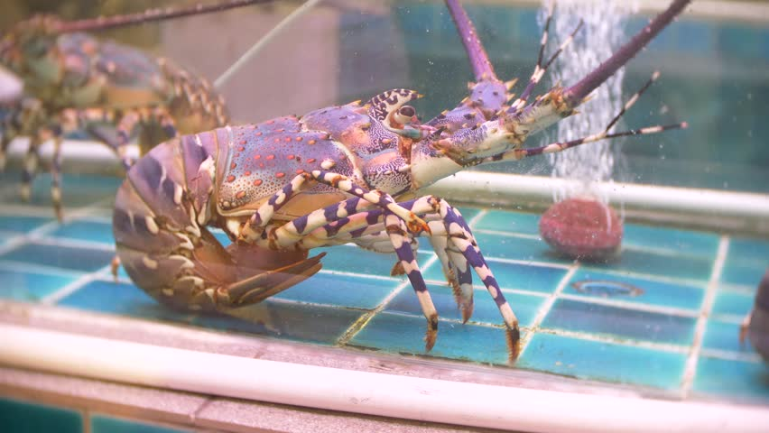 how to keep lobsters alive in a tank