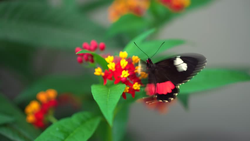 close-up Transandean cattleheart, Parides iphidamas black and red butterfly flaps wings on yellow and red flower on blury green background