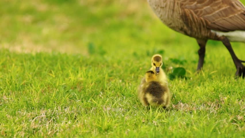 Baby Geese Peck Young Animal Waterfowl Birds Fighting Playing