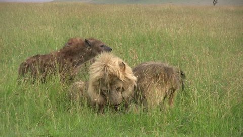 Hyenas back off from two fighting lions.