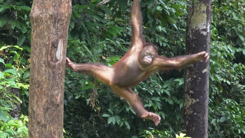Small Orangutan (Pongo pygmaeus) Hanging on Liana. Endangered Endemic Borneo Animal