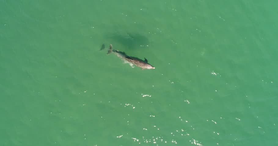 Aerial shots of a pod of dolphins playing. #1008819389