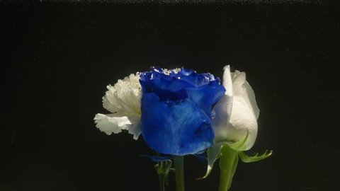 Amazingly wonderful atmospheric shot of a beautiful blue rose mixing with ink in water
