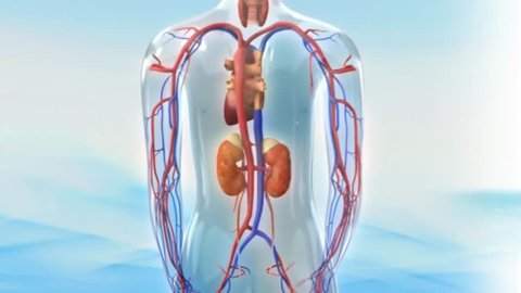 Adrenal glands anterior posterior rotation showing anatomical position among internal tissue structures kidneys organs inside 3D CG model human male transparent x-ray view black background animation