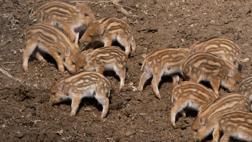 Wild boar piglets (Sus scrofa) fighting | Shutterstock HD Video #1008864989