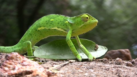 A chameleon walks hesitantly over a leaf on the ground.