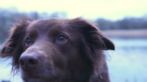 Border Collie Looking at camera. Cinematic