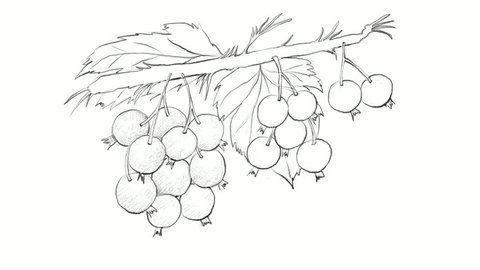 Berry Fruit, Motion Clip of Illustration Hand Drawn Sketch of Blackcurrant or Ribes Nigrum Fruits Isolated on White Background.