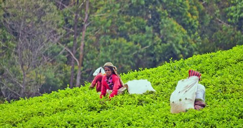 NUWARA ELIYA, SRI LANKA - 29 APR 16: Local women tea pickers in traditional clothes collect green leaves in Sri Lanka