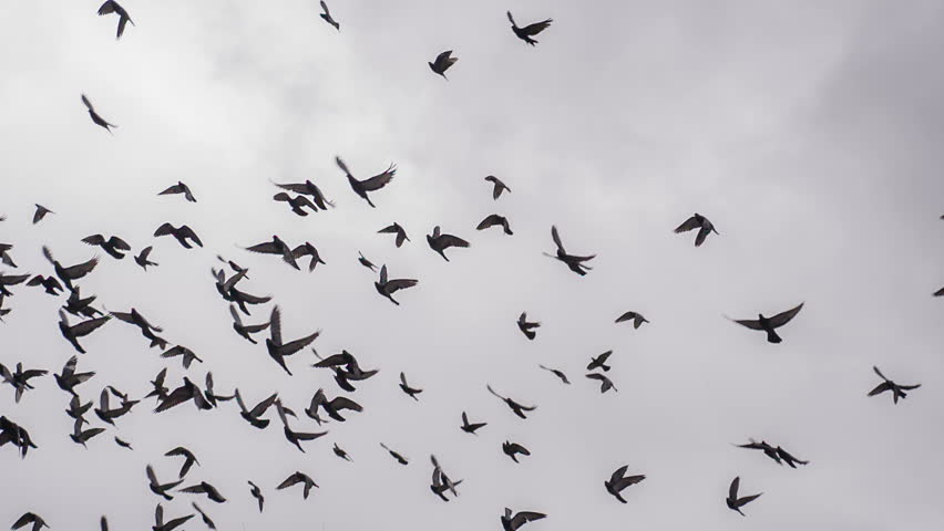 Large Flock of Birds. A flock of birds against the sky. Slow Motion at a rate of 240 fps