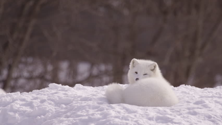 Arctic fox relaxing in the snow